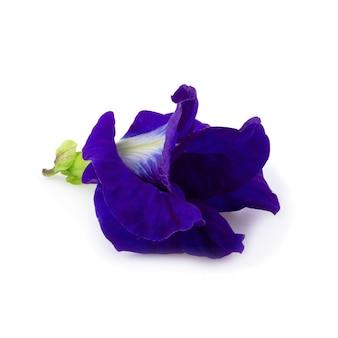 Sluit omhoog van de bloem van de vlindererwt op een witte achtergrond wordt geïsoleerd die