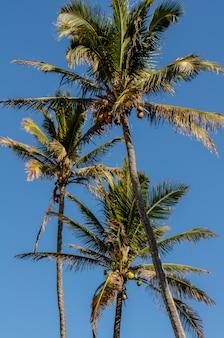 Sluit omhoog van de bovenkanten van palmen en hun kokosnoten op de kust van het noorden van oahu, hawaï, de vs