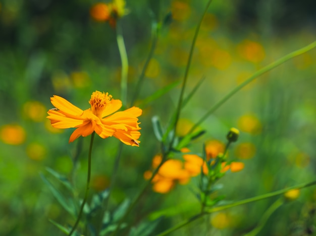 Sluit omhoog van de gele mexicaanse bipinnatus van de asterkosmos cav in de tuin