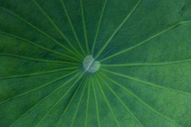 Sluit omhoog van de groene textuur van het lotusbloemblad