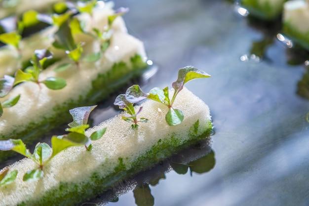 Sluit omhoog van de groenten van babyhydrocultuur groeiend op water