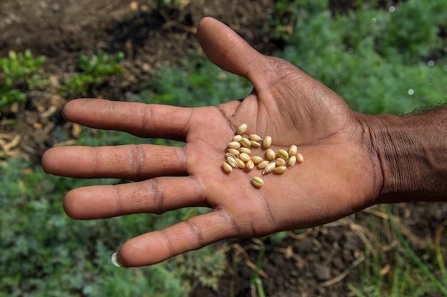 Sluit omhoog van de handen van de landbouwer houdend tarwekorrels