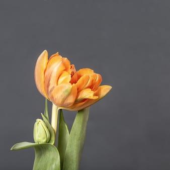 Sluit omhoog van de mooie bloem van de de lentetulp op donkere achtergrond met exemplaarruimte