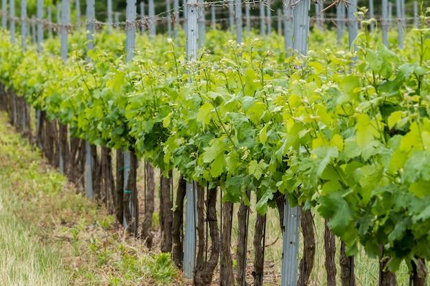 Sluit omhoog van druiven in het voorjaar