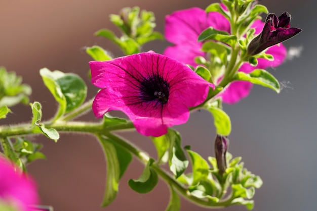 Sluit omhoog van één enkele donkerroze bloem van paeonia-mascula, soort van pioen