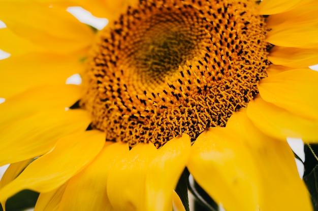 Sluit omhoog van een gele zonnebloembloem