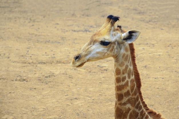 Sluit omhoog van een giraf die in aard loopt