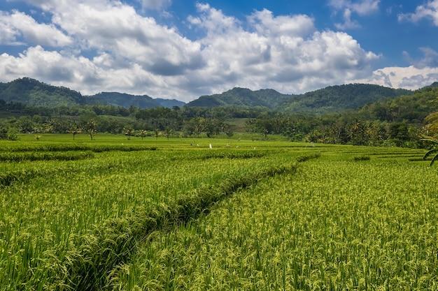 Sluit omhoog van een groen rijstveld tegen dramatische blauwe hemel. uitzicht op een rijstveld