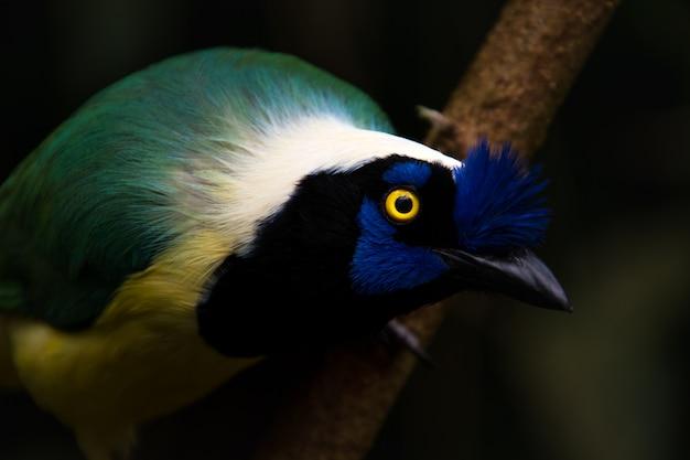 Sluit omhoog van een groene vlaamse gaai (cyanocorax-yncas), blauwe vogel met gele ogen