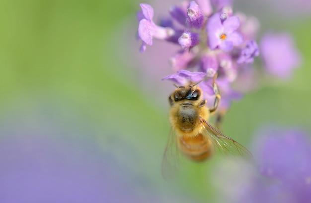 Sluit omhoog van een honingbij op een lavendelbloem