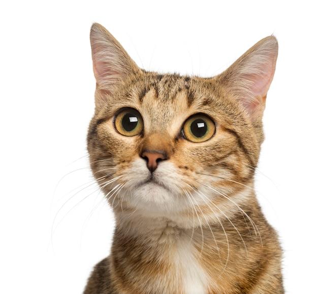 Sluit omhoog van een kat van het gemengd ras die op wit wordt geïsoleerd