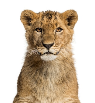 Sluit omhoog van een leeuwwelp die de camera bekijkt
