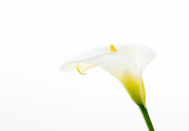 Sluit omhoog van een mooie calla die leliesbloem op de witte achtergrond wordt geïsoleerd