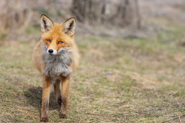 Sluit omhoog van een rode vos vulpes vulpes die zich op gras bevindt.