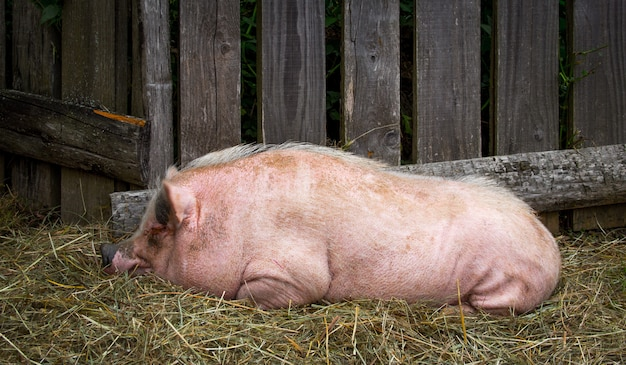 Sluit omhoog van een varken