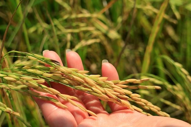 Sluit omhoog van een vrouwelijke hand houdend rijpe rijstkorrels van de rijstinstallaties op padiegebied