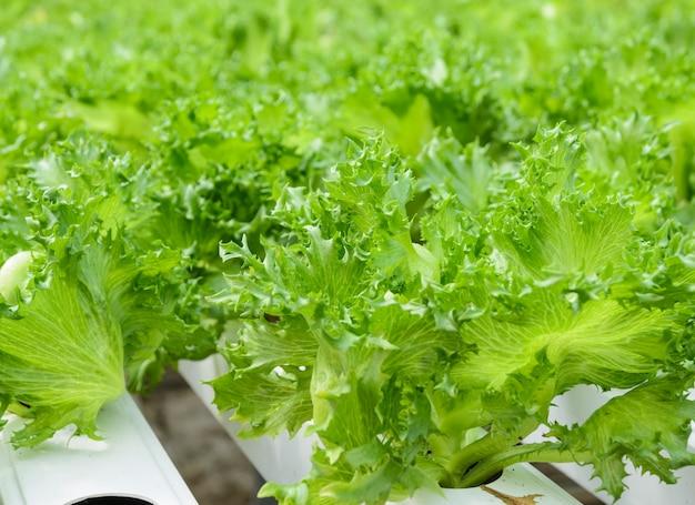 Sluit omhoog van fillie iceburg-de groentenaanplanting van de bladsla