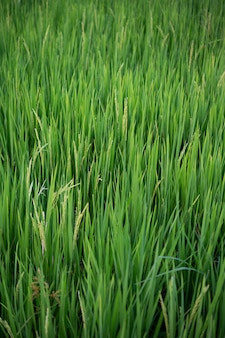 Sluit omhoog van geelgroene padievelden.