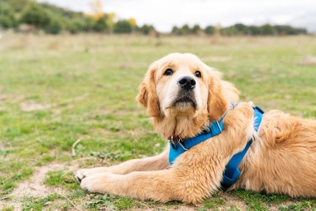 Sluit omhoog van golden retrieverpuppyhond die in openlucht van bij een groot grasgebied genieten