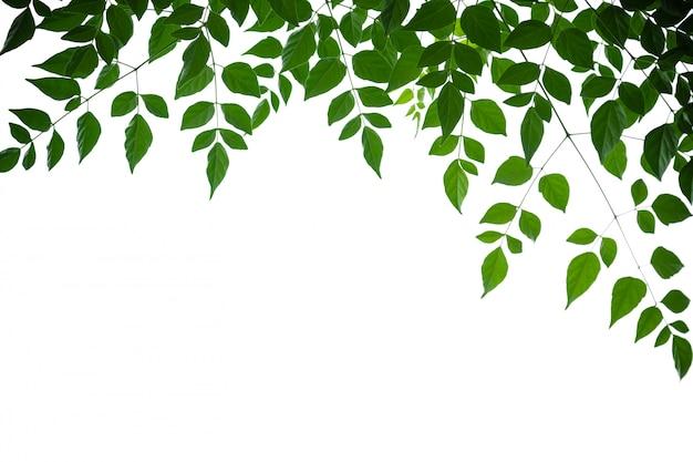 Sluit omhoog van groen cork van de aardmening boomblad op witte achtergrond onder zonlicht en copyspace