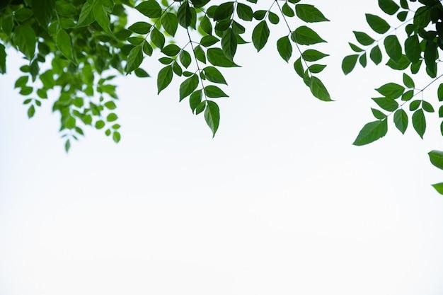 Sluit omhoog van groen cork van de aardmening boomblad op witte duidelijke hemelachtergrond onder zonlicht en exemplaarruimte