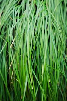 Sluit omhoog van groen gras