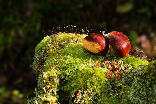Sluit omhoog van groene krul van kastanjes, gevallen op de overblijfselen van een boomstam.