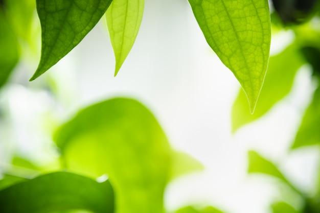 Sluit omhoog van het groene blad van de aardmening op vage groenachtergrond onder zonlicht met bokehachtergrond