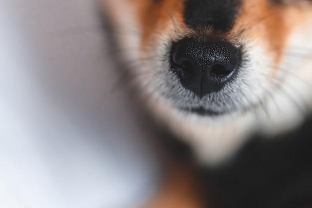 Sluit omhoog van hondsnuit. hondenneus