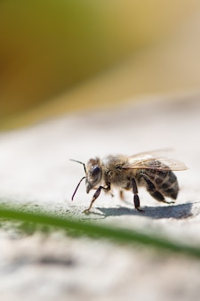 Sluit omhoog van honingbij in de tuin.