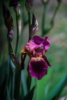 Sluit omhoog van irisbloem