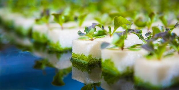 Sluit omhoog van jonge hydrocultuurgroenten