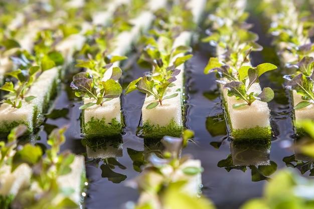 Sluit omhoog van jonge hydroponicsgroenten groeiend in rijen van zachte spons op water,