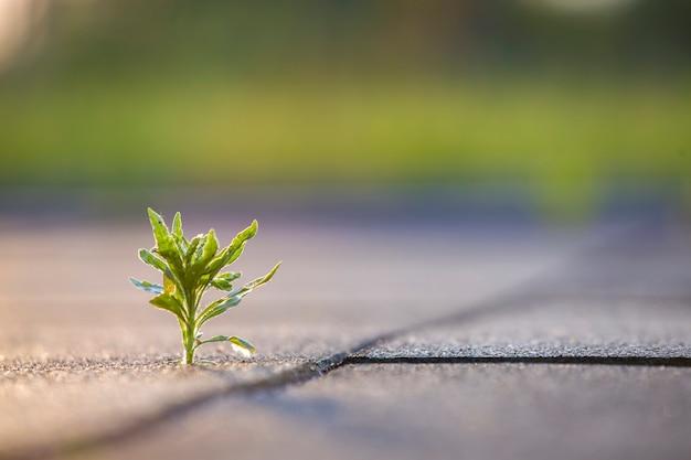 Sluit omhoog van jongelui weinig groene installatie die tussen betontegels in de lente begint te groeien. begin van nieuw leven concept.