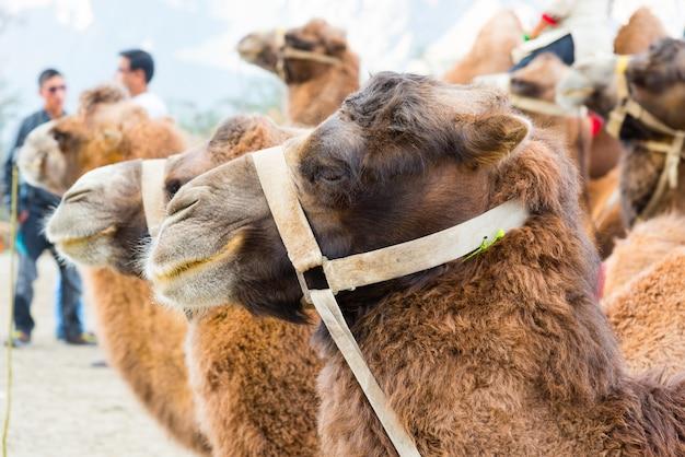 Sluit omhoog van kameel in woestijn van nubra-vallei, leh, ladakh, india