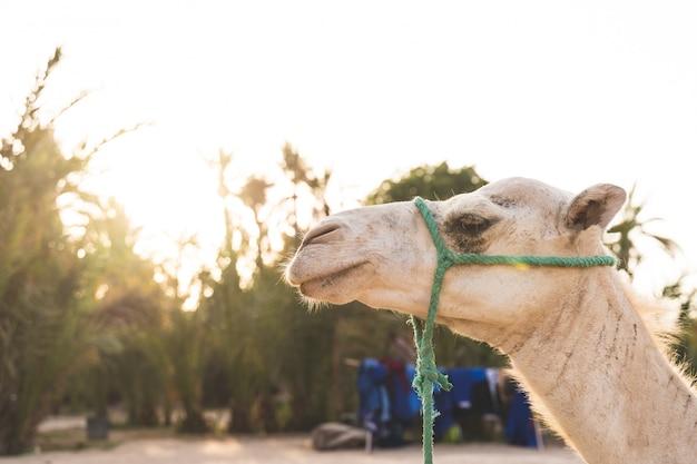Sluit omhoog van kameelgezicht bij het dessert onder zonsondergang.