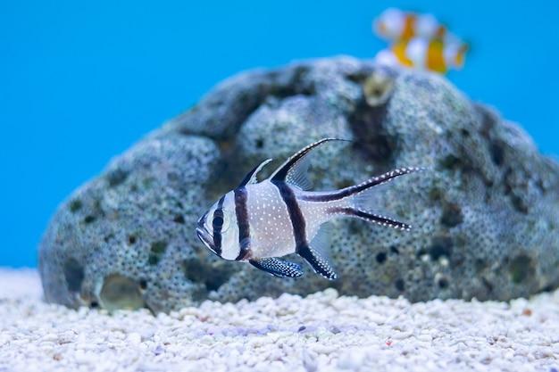Sluit omhoog van kaudern's cardinalfish of longfin cardinalfish bij de oceaan van thailand