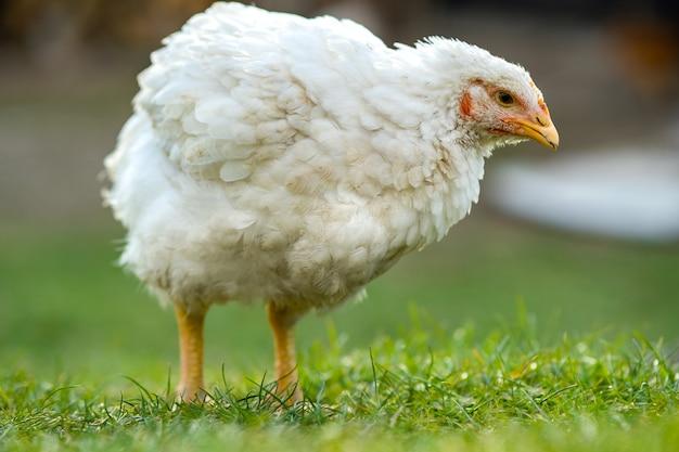 Sluit omhoog van kip die zich op schuurwerf met groen gras bevindt.