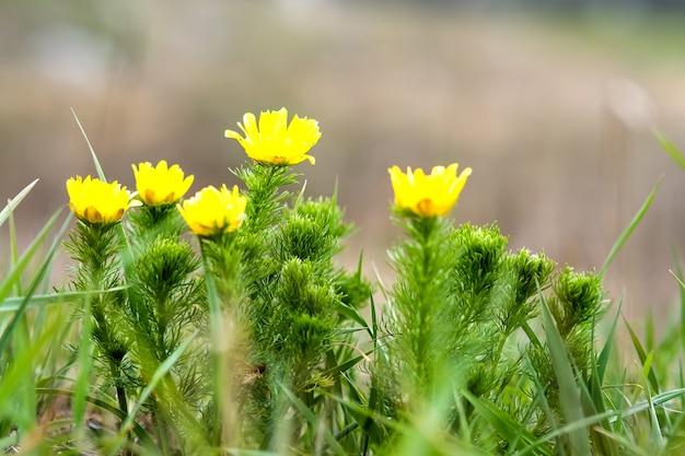 Sluit omhoog van kleine gele wilde bloemen die op groen de lentegebied bloeien.