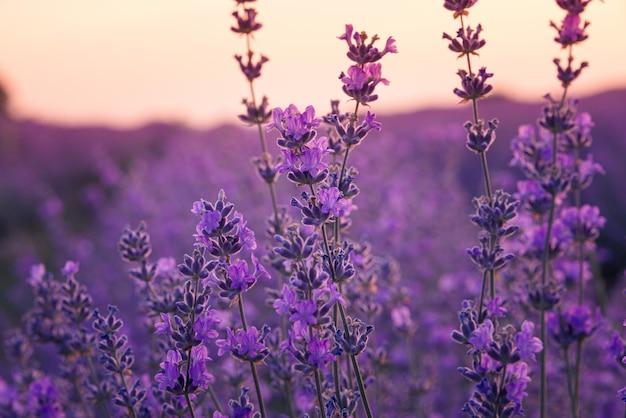 Sluit omhoog van lavendelbloemen op een lavendelgebied onder het zonsopganglicht