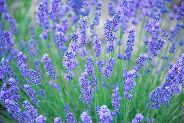 Sluit omhoog van lavendelbloemen op een lavendelgebied
