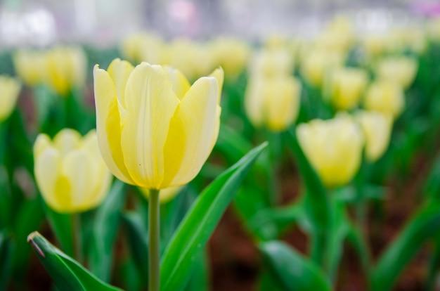 Sluit omhoog van lichtgeel tulpengebied