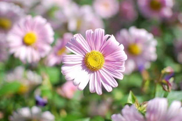 Sluit omhoog van lichtrose bloem met gele kern op groene vage tuin