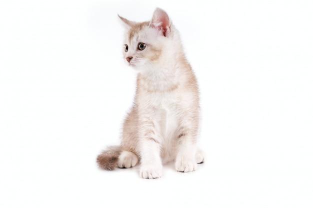Sluit omhoog van lief bruin en wit katje.