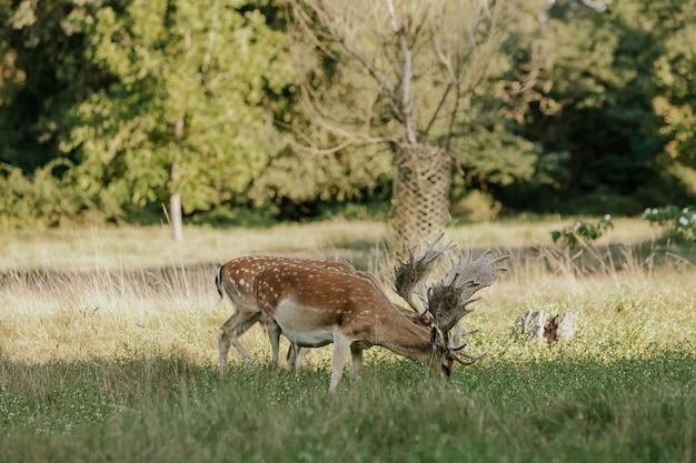 Sluit omhoog van mooie jonge herten in natuurreservaat van migliarino san rossore massaciuccoli, italië