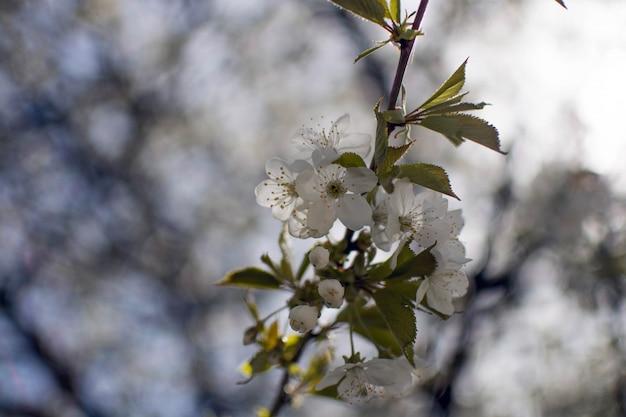 Sluit omhoog van mooie witte bloesems met vage natuurlijke achtergrond