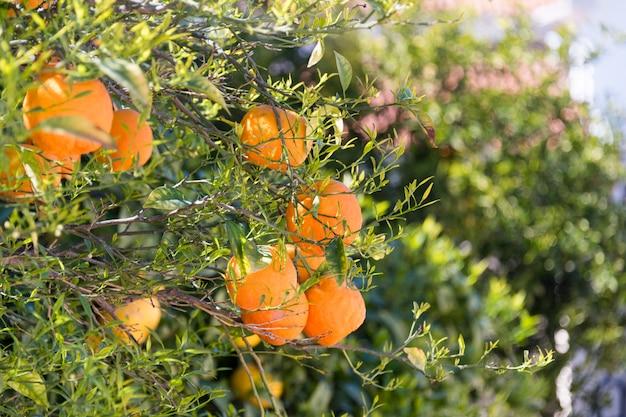 Sluit omhoog van oranje bomen in de tuin, selectieve nadruk. rijpe sinaasappelen die op oranje boom hangen