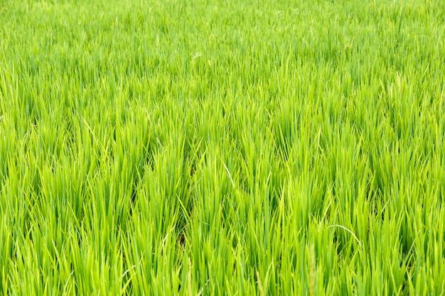 Sluit omhoog van padieveld, thaise rijst