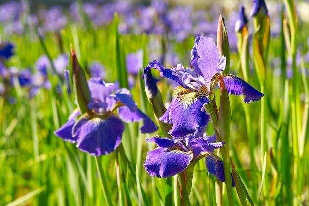 Sluit omhoog van purpere japanse irisbloemen. blauwe bloemirissen.
