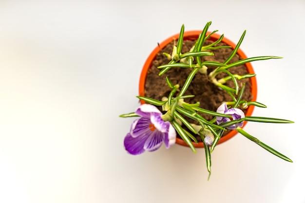 Sluit omhoog van purpere krokus in bloei op venstervensterbank. lentebloemen, tuinieren